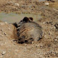 Животные Туркменистана - кабан :: Elena Соломенцева