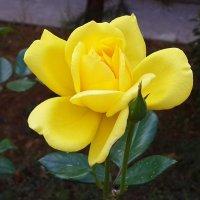 Желтая красотка :: Светлана