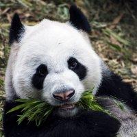 Панда :: ALLA Melnik