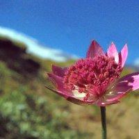 Горный цветок :: Владимир Клюев