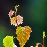 Свежие листья :: Сергей Чиняев