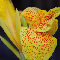 Яркий цветок.Canna generalis. :: Оля Богданович