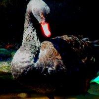 черный лебедь :: Таня