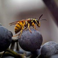 Оса и виноград. :: владимир