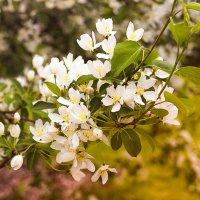 цвет весны :: Ирина Корнеева