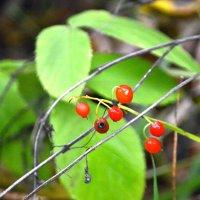 Лесная ягода :: Александр Канышев