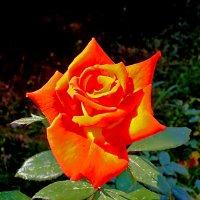 Роза-костер :: Светлана