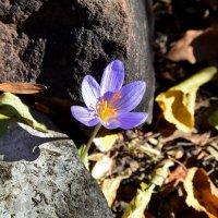 Осенний крокус :: Ольга Голубева