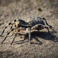 Южнорусский тарантул (мизгирь) :: Владимир Виттих
