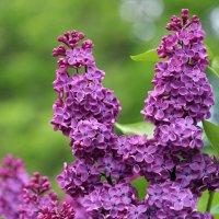 городские цветы-ах,сирень :: Олег Лукьянов