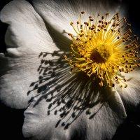 Утро с цветком шиповника. :: Ахмат Б.