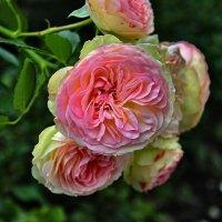 Сентябрьские розы :: Марина Волкова