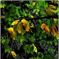 Листья дикого винограда :: Нина Корешкова