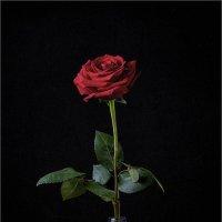 Просто роза :: Алексей Путинцев