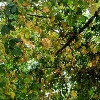 Шатёр из дикого винограда :: Нина Корешкова