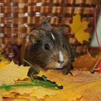 Морская свинка в кленовых листьях :: Ольга Вишневская