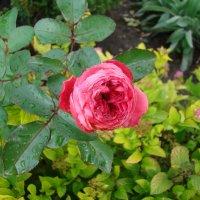 Роза под дождем :: марина ковшова