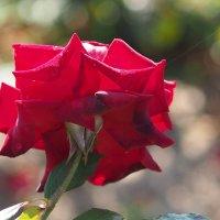 Последняя роза :: Игорь Касьяненко