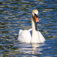а белый лебедь на пруду.. :: валя