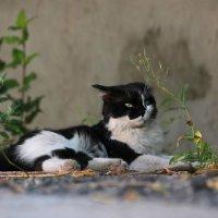 Черно-белый кот :: Elena Kashmareva