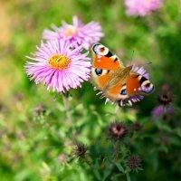 Осенние цветы :: Павел Шрайбикус