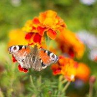 Бабочки в октябре не только в животе :: Сергей Савельев