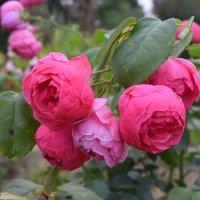 Осенние розы. :: Лилия Дмитриева