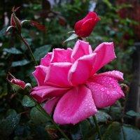 Розы октября... :: Galina Dzubina