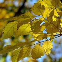 Жёлтые листья.. :: Юрий Анипов