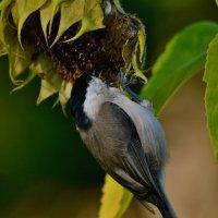 пухляк :: linnud