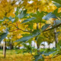 Осенние листья :: Галина Galyazlatotsvet