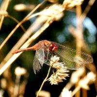 стрекозы сухой травы :: Александр Прокудин