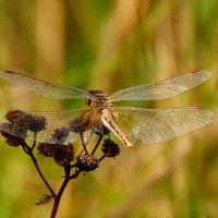 стрекозы сухой травы 2 :: Александр Прокудин