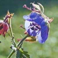 цветочек :: Седа Ковтун