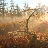 Утро лесо - тундры Арктики :: Александр Велигура