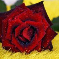 роза в меху)) :: Роза Бара