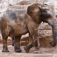 Слон :: вадим