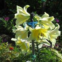 прекрасные цветы :: Марина