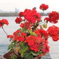 Герань радует цветами. :: Андрей