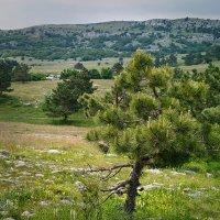 Сосна на плато. :: Андрий Майковский