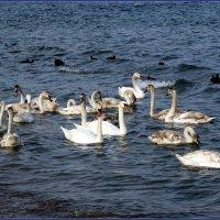 Лебеди :: Вера
