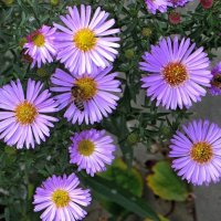 Смотрю на цветы сентябринки :: Татьяна Смоляниченко