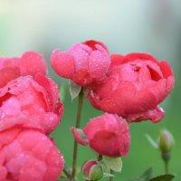 Розы после дождя. :: Оля Богданович