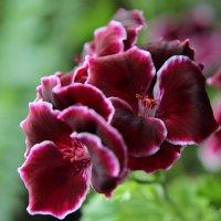 герань цветет :: leoligra