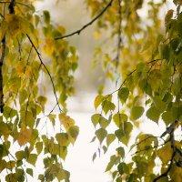 Зеленые березки на снежном фоне. 9 октября. Сибирь. :: Ольга