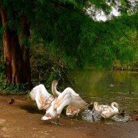 """Лебедь: """"Смотри, как я умею!"""" :: Nina Yudicheva"""