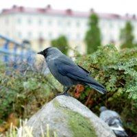Ворона на камне :: Марина Романова