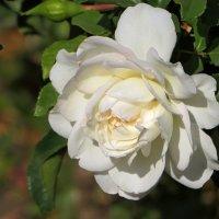 Белая роза :: Татьяна Смоляниченко