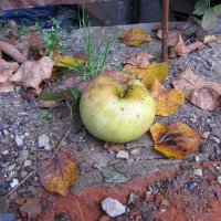 Осень и яблоко :: Александр Левин