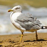 Черноморская чайка :: Андрей Щетинин